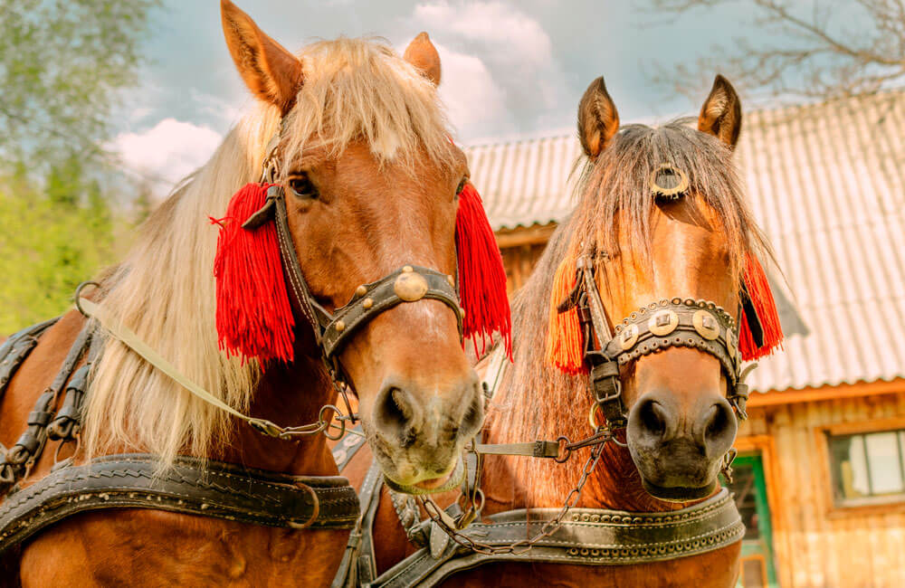 large chestnut horses are tacked and decorated