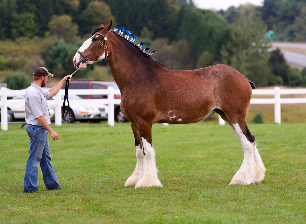 man holding the Clydesdale horse