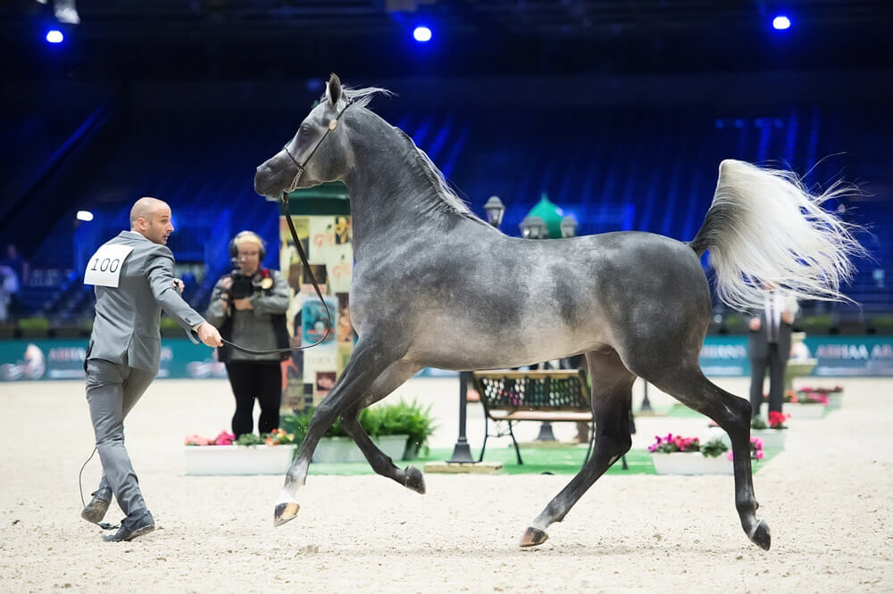 man is leading a gray arabian horse