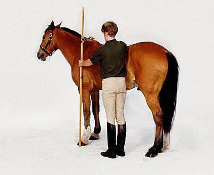 man measuring horse height