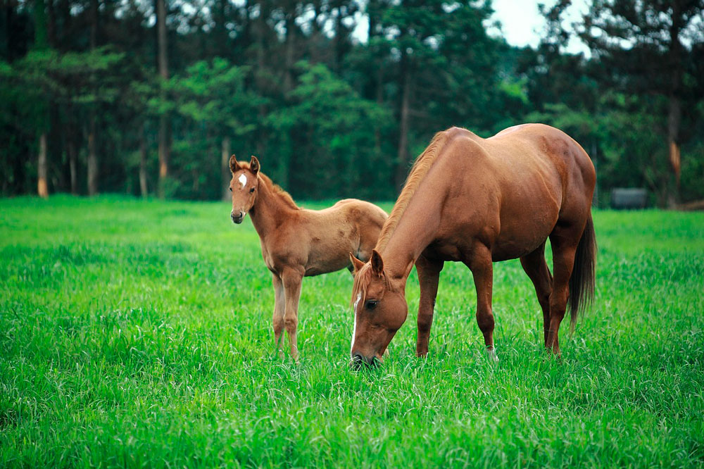 mare and foal are grazing grass