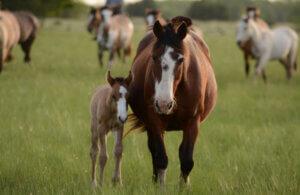Horse pregnancy