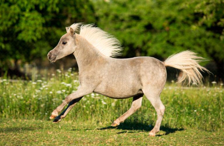 mini horse is running