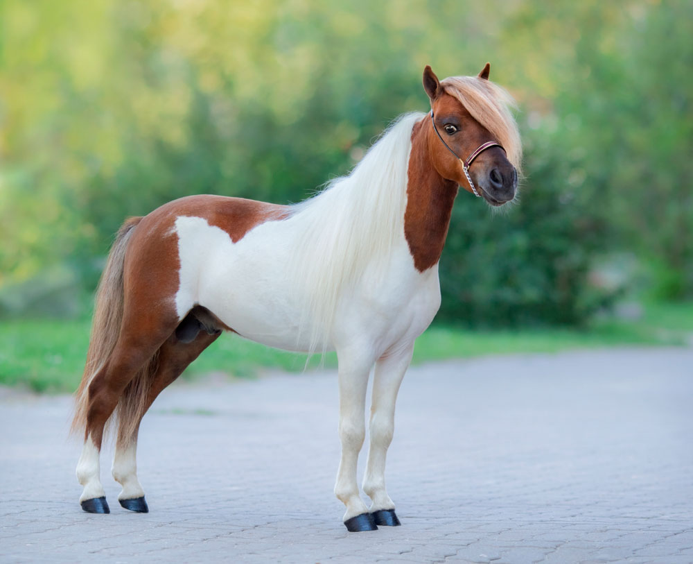 mini horse with white belly