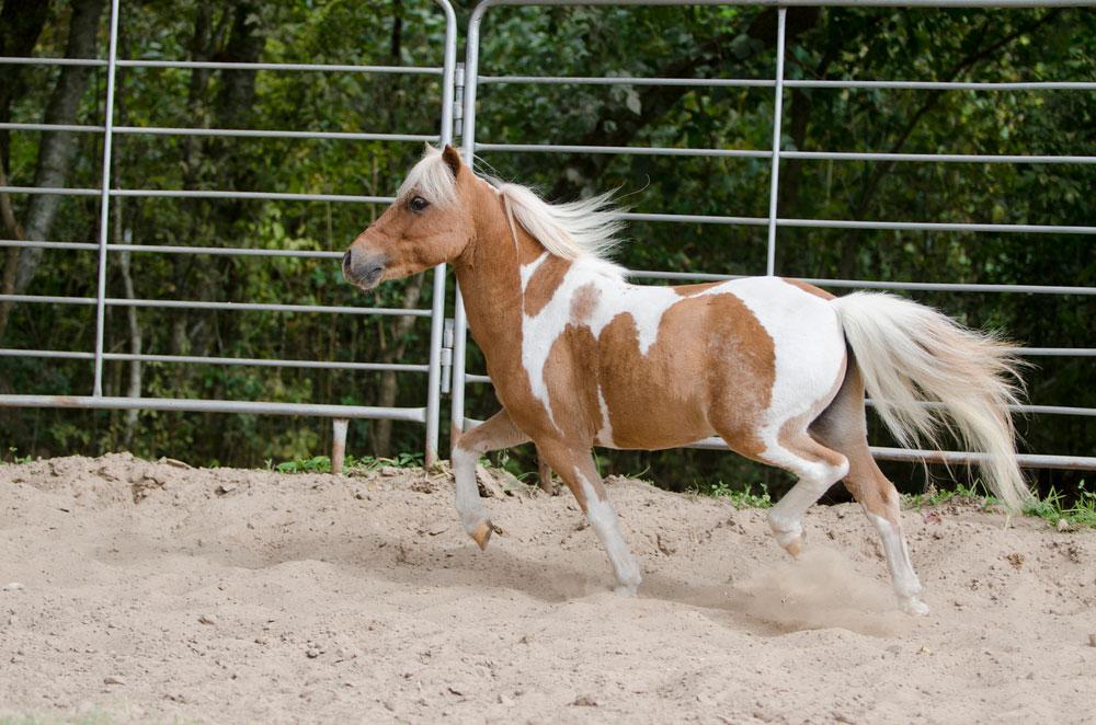 mini horse running around