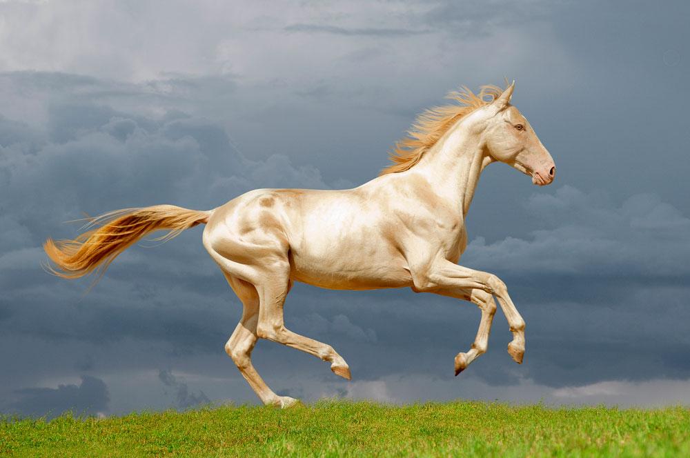perl Akhal-Teke horse is running