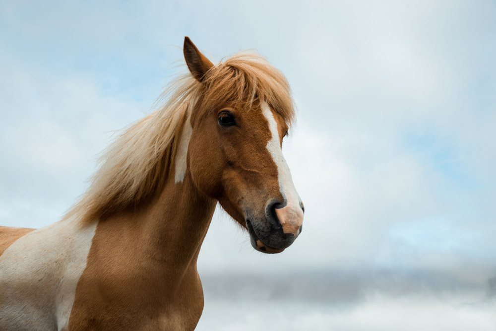 pinto horse on the sky background