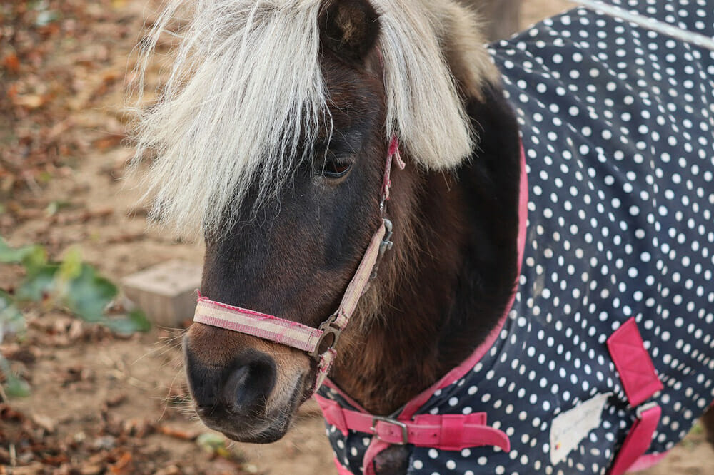 pony is wearing a horse blanket
