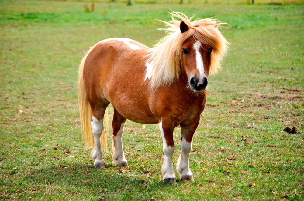pony on pasture