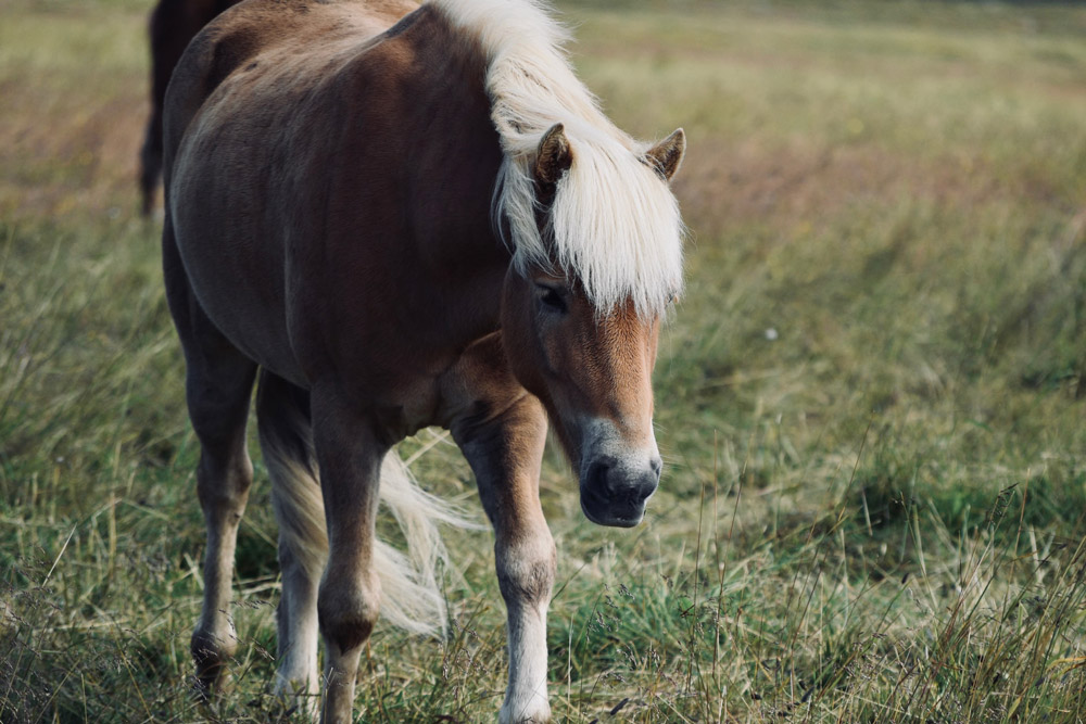 pony with white mane and tail