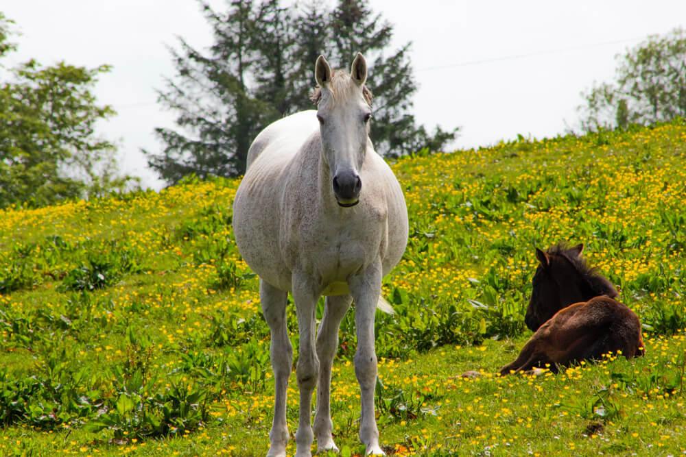 pregnant mare close up