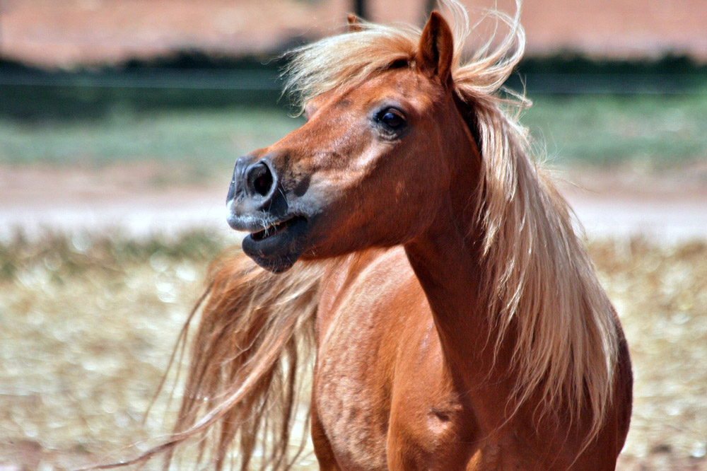 shetland chestnut pony with light mane and tail