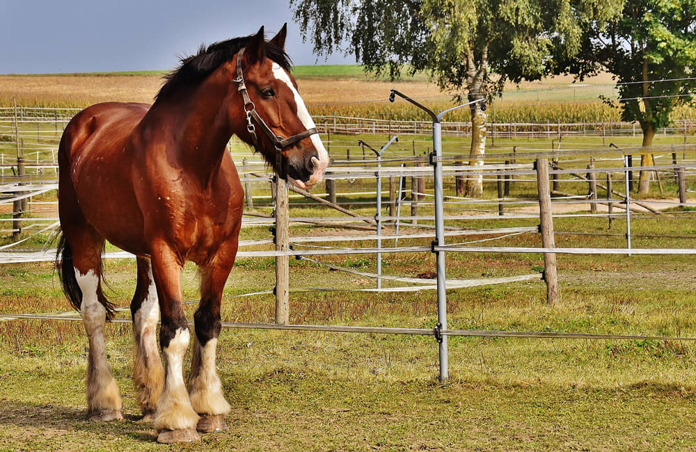 shire horse resting on ranch
