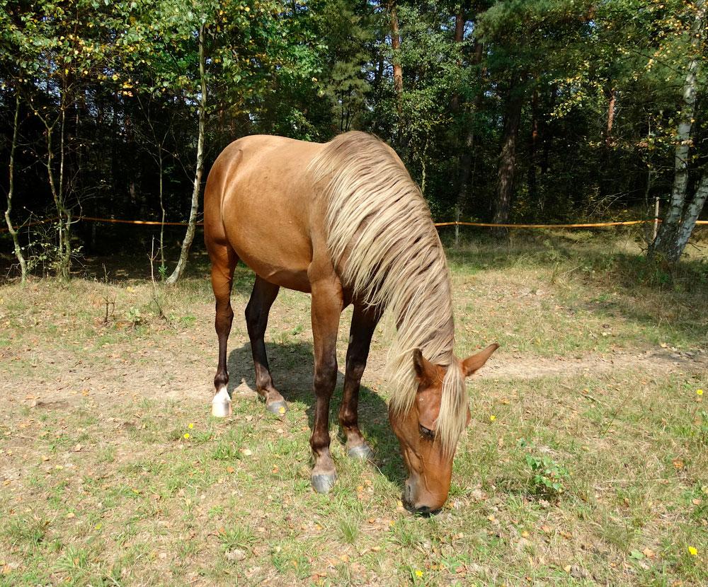 silver bay Rocky Mountain Horse