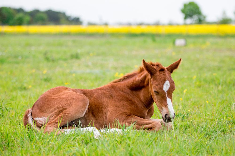 sleepy horse filly on grass
