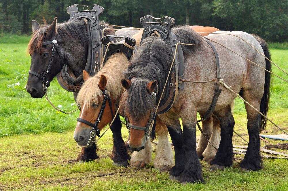 three Belgian draft horses tacked up