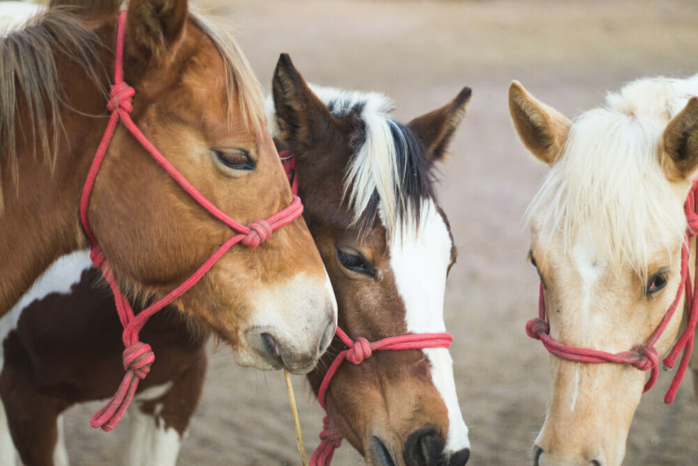 three horses with red halters