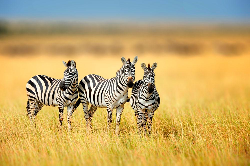 three zebras grazing in field
