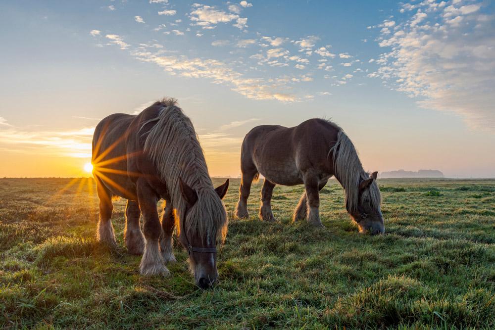 two Belgian draft horses grazing