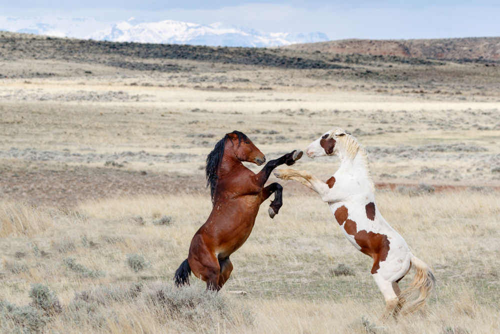 two Mustang Horses are fighting