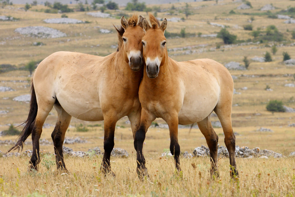 two Przewalski Horses looking forward