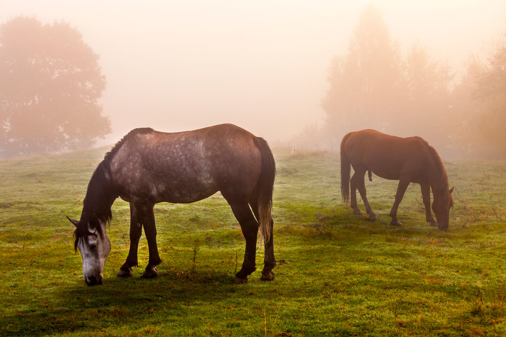 two Rocky Mountain Horses grazing