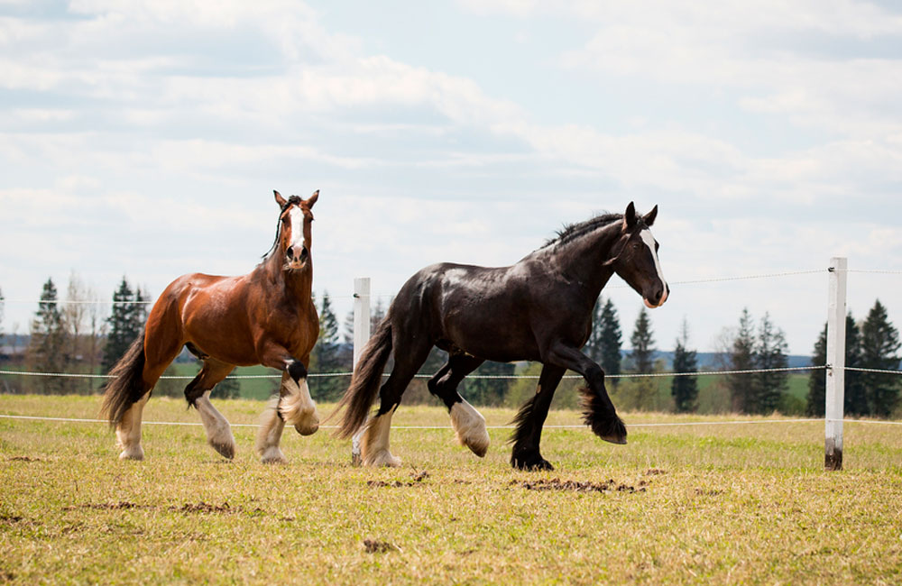 two Shire Horses walking