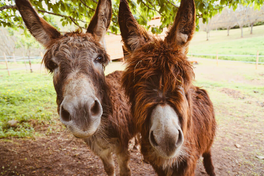 two hairy donkeys are looking closely
