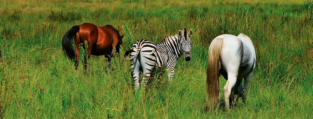 two horses and zebra on grass