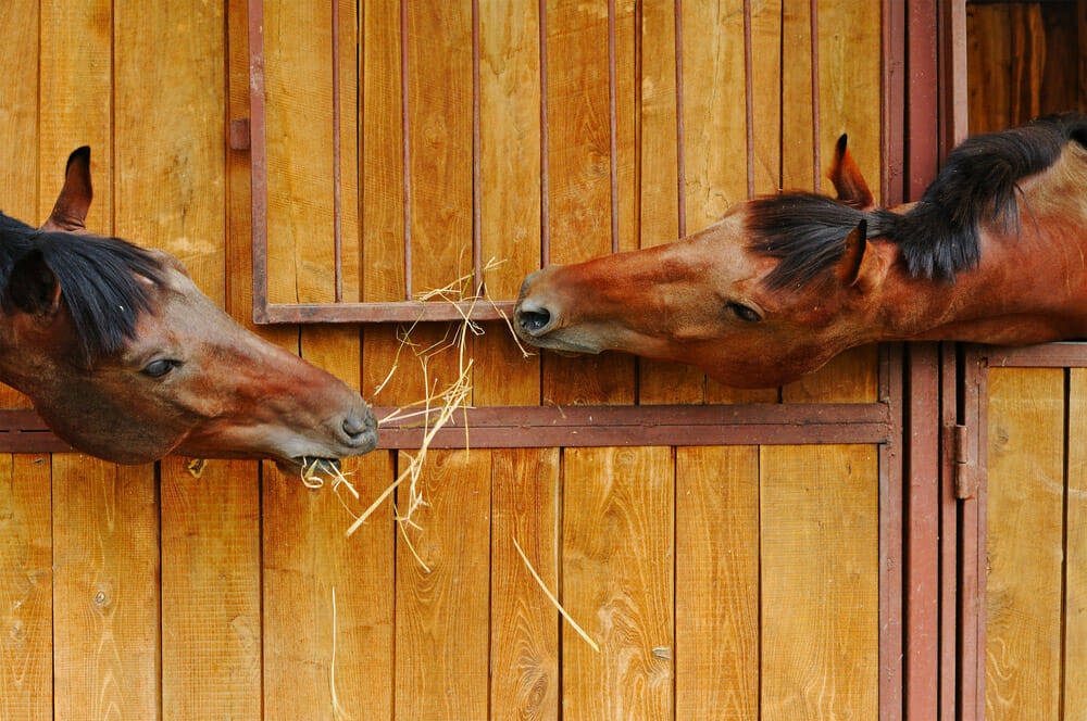 two horses are eating hay together