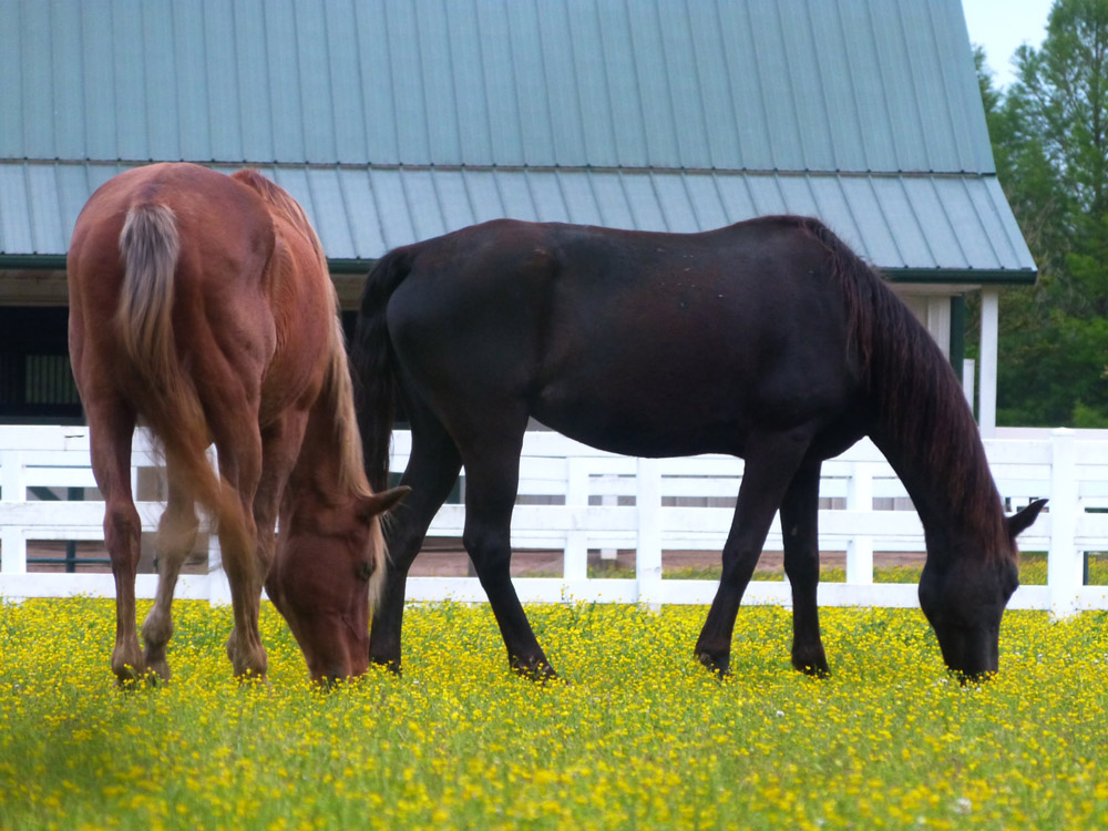 two horses are grazing around