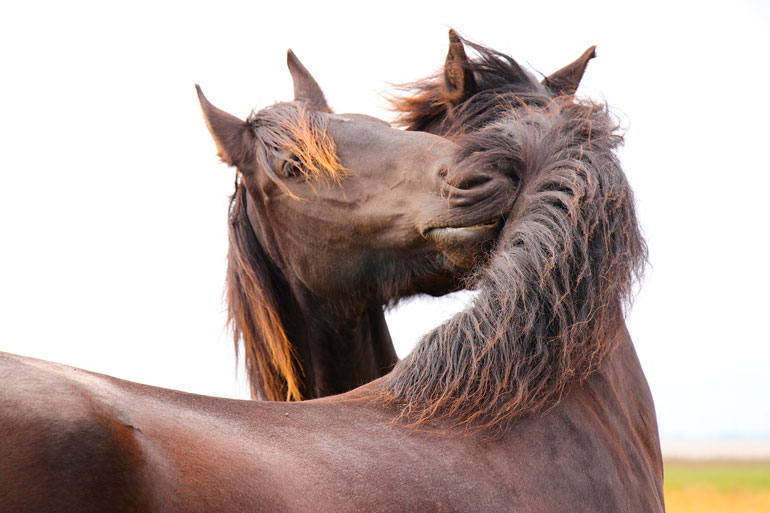 two horses are smelling each other