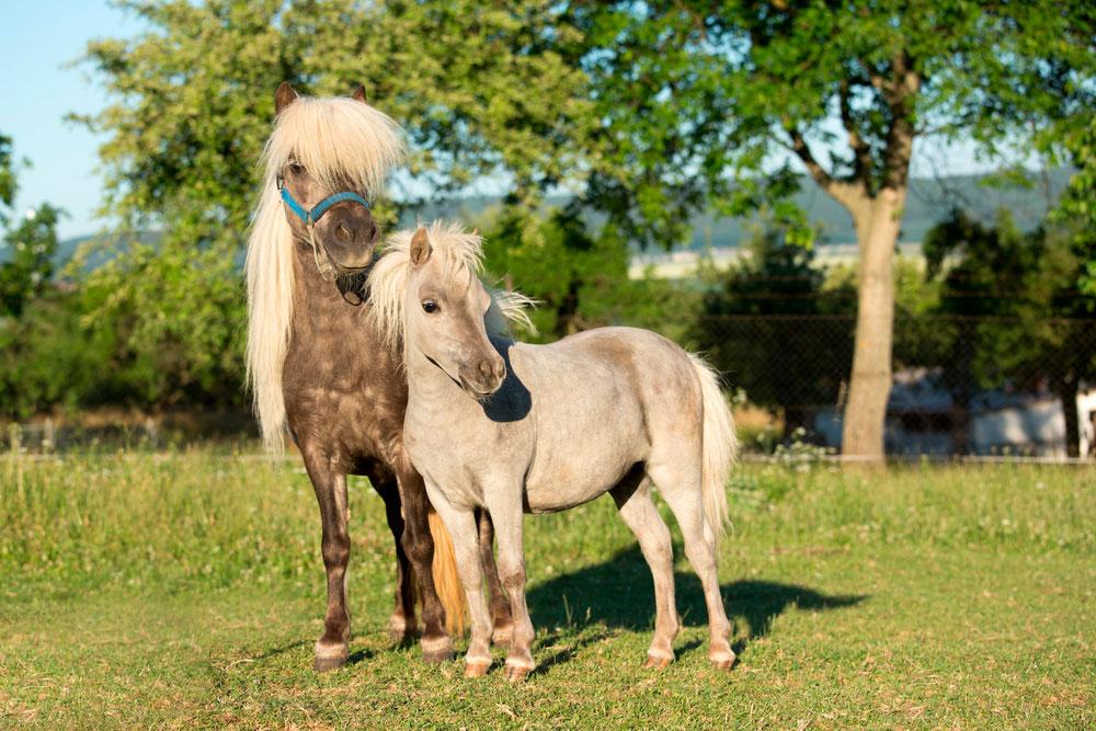 two mini horses posing