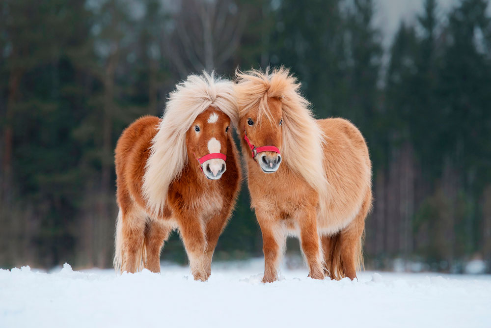 two ponies in winter