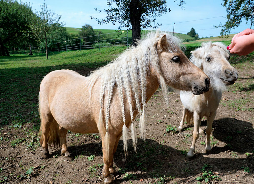 two ponies with mane braids