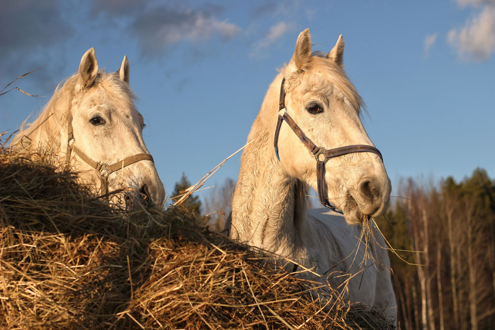 two white horses are chewing hay outside