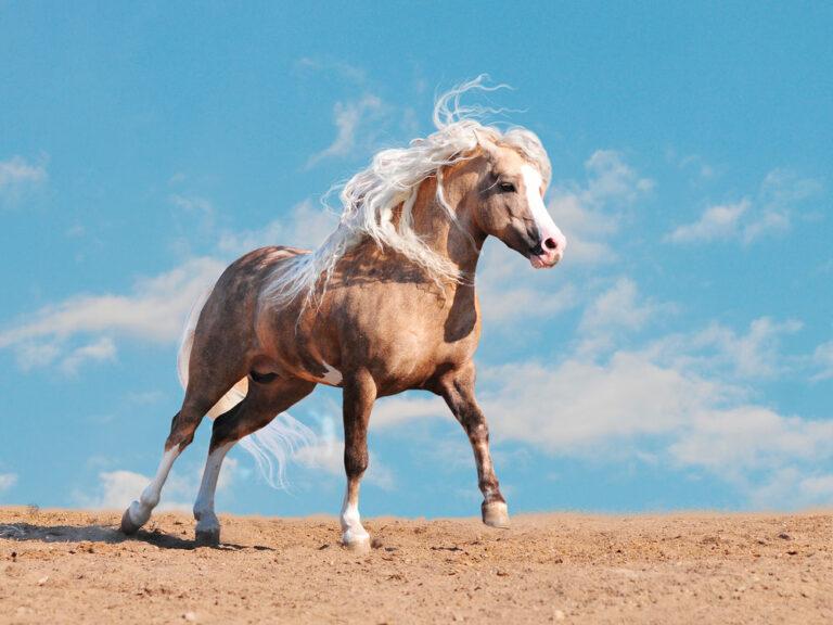 welsh pony in a desert
