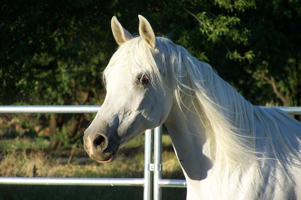 white Arabian Horse close view
