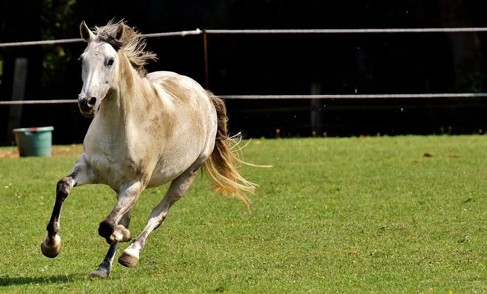white horse is running around