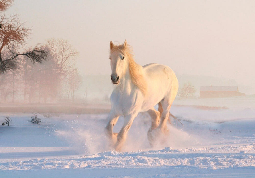 white horse is running in snow