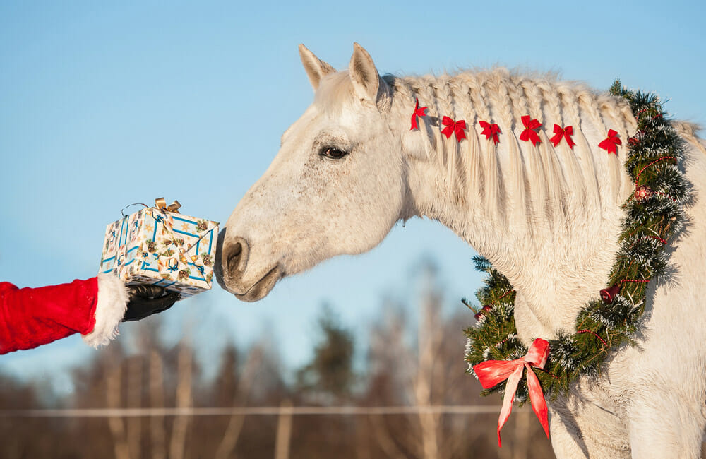 white horse is sniffing a gift