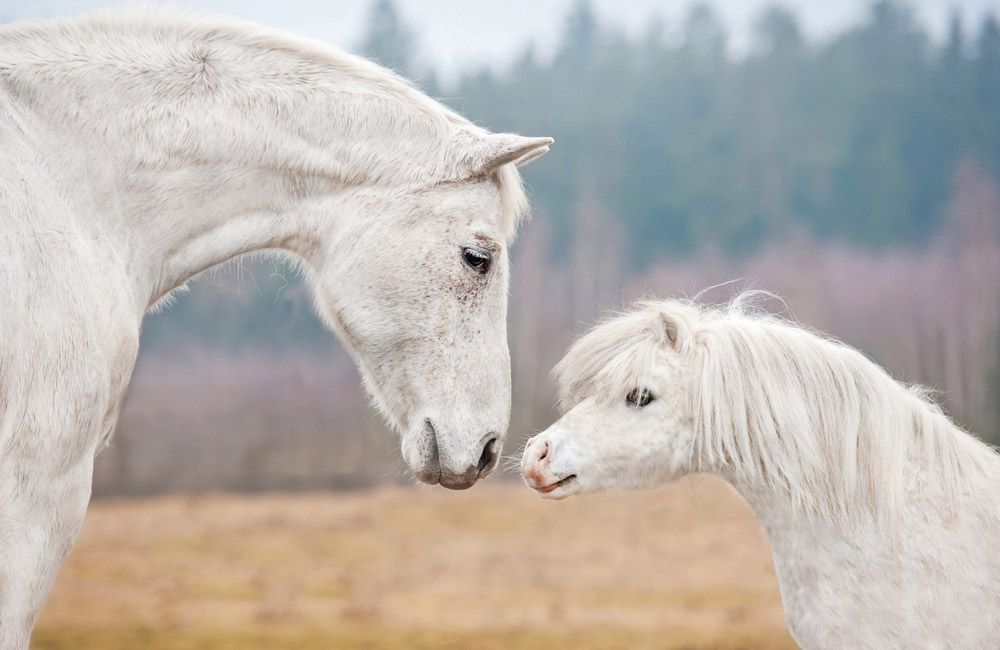 white horse is standing near white pony