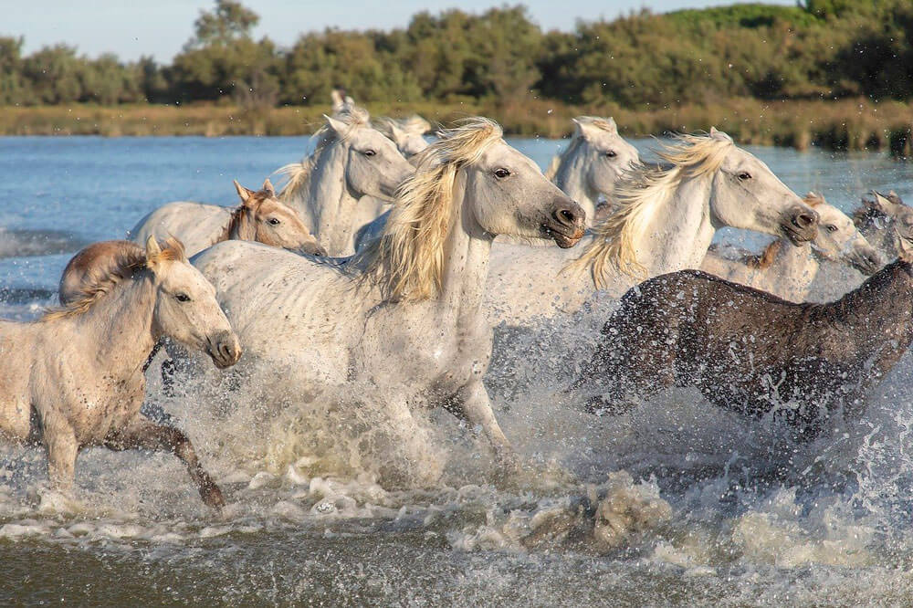 white horses playing in water