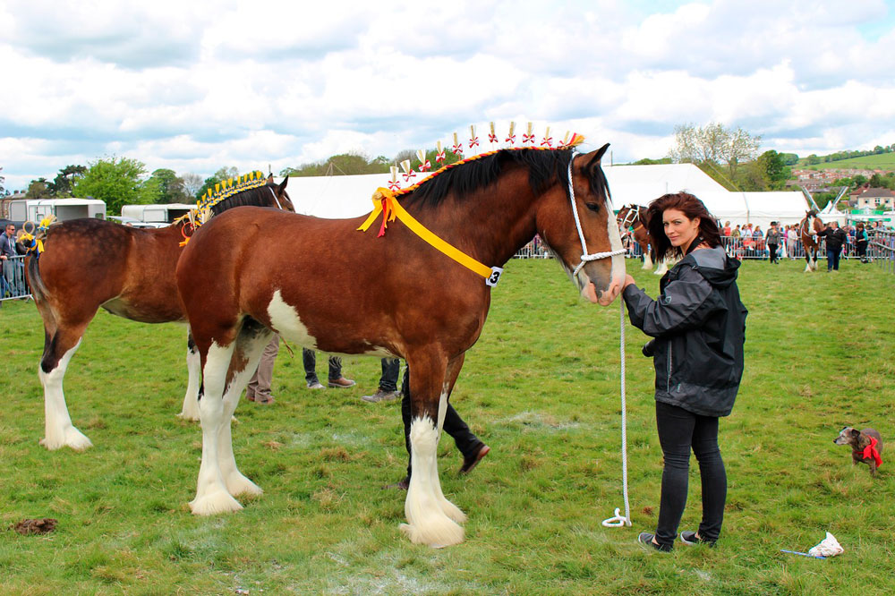 woman holding bay Shire Horse