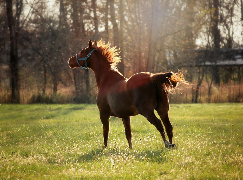 young horse is running cheerfully